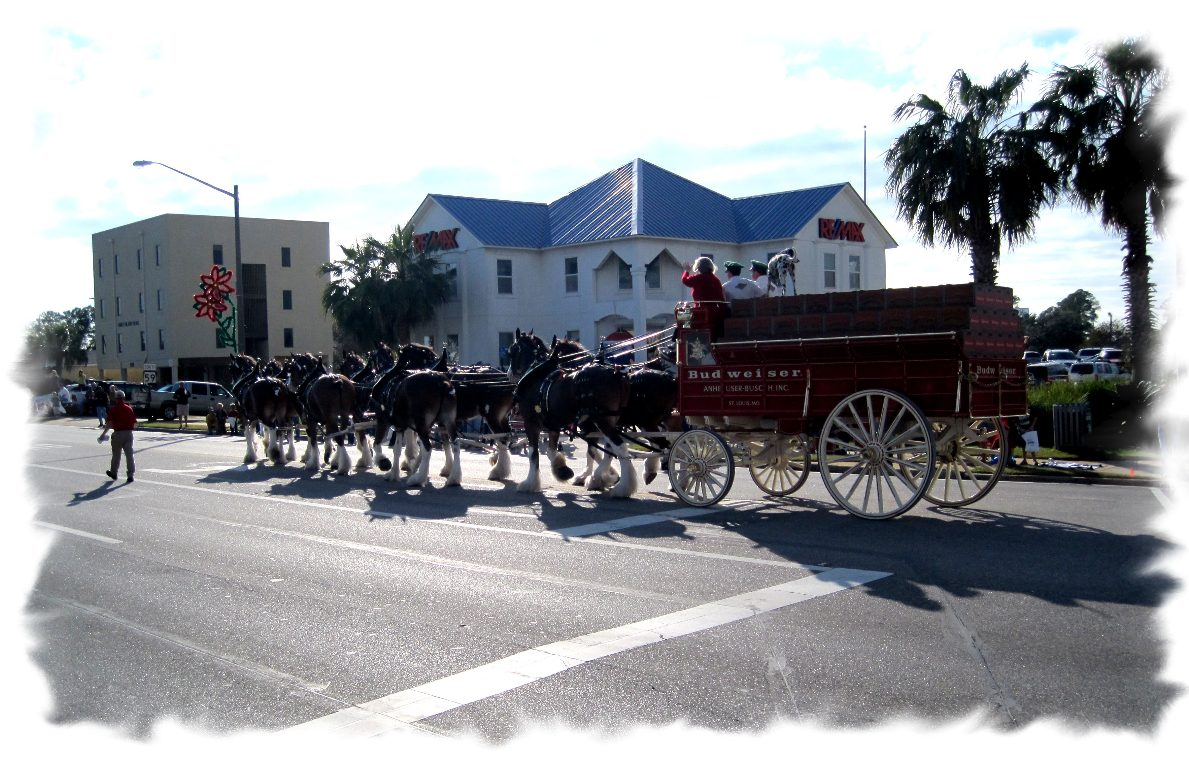 Clydesdales in parade