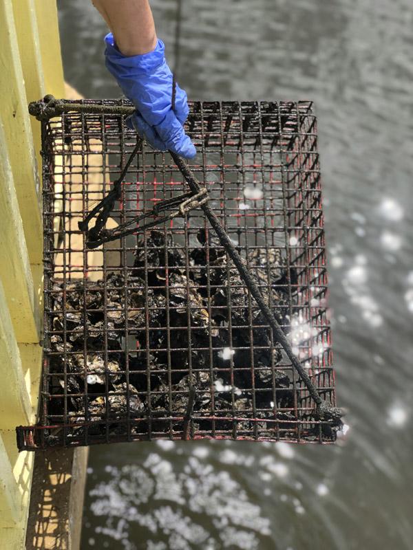 volunteers growing oysters hanging from piers