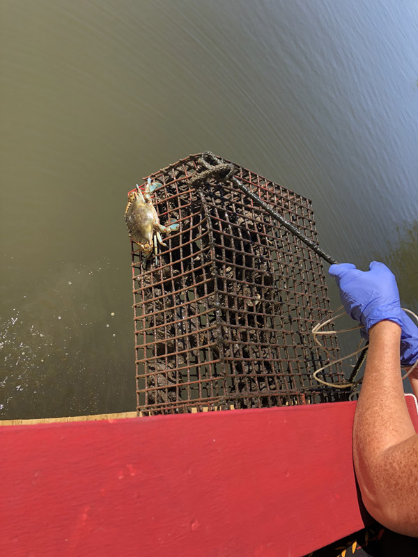 oyster garden or growing stocker oysters for reef restoration
