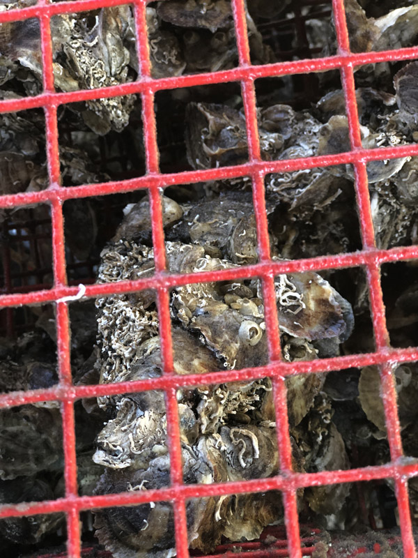 Close up of Oyster Gardening showing baby spat